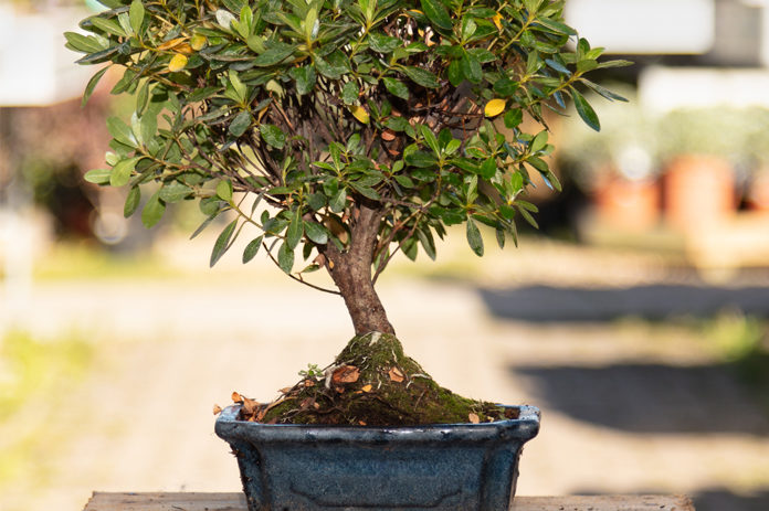 6 Best Azalea Bonsai Trees And Care Guide - Bonsai Plant
