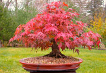 japanese-bonsai-maple-plants